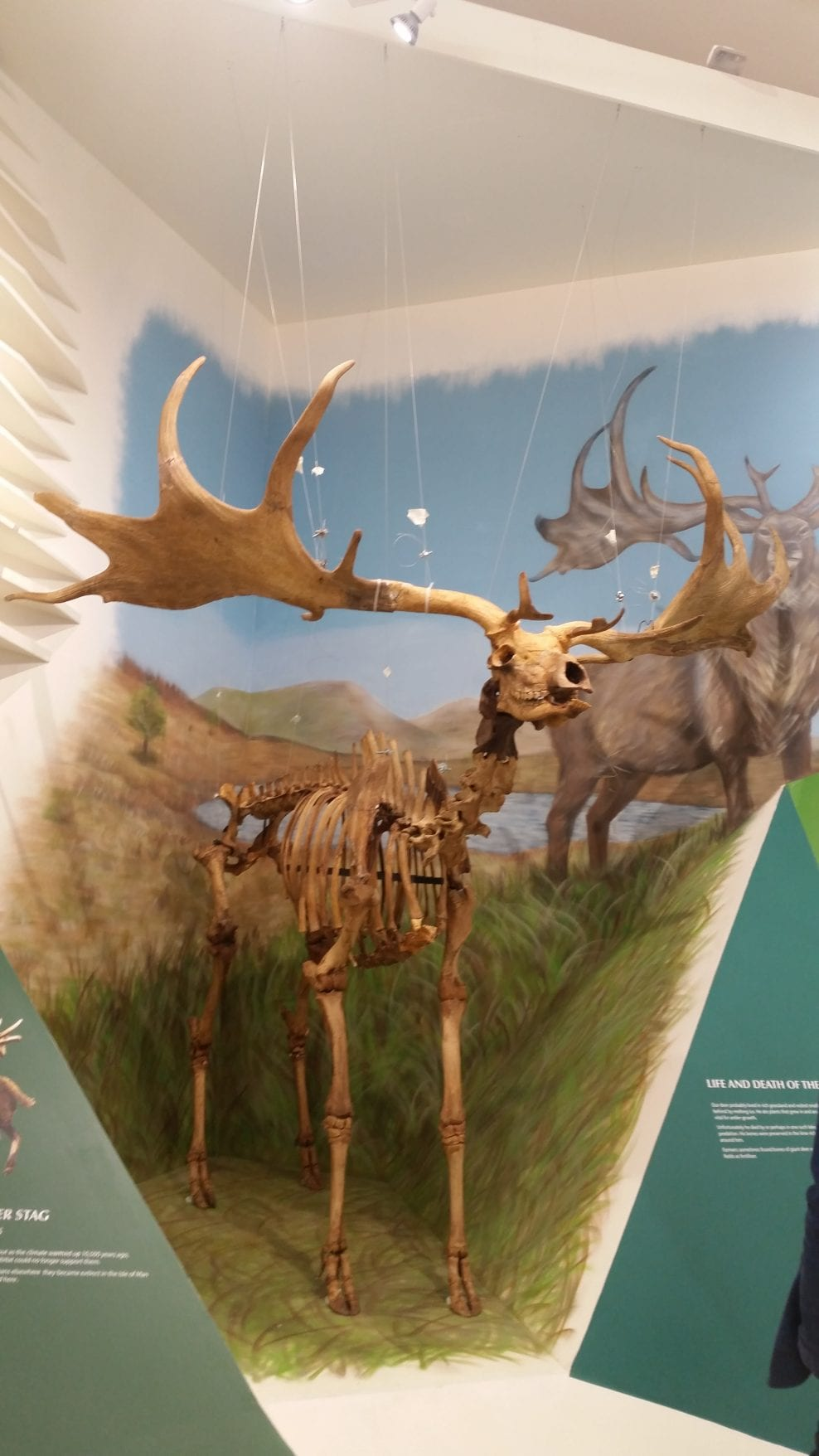 Manx Giant Deer after conservation and installation