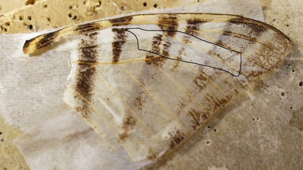 Mending a wing by underlaying with Gampi tissue. Black outline how position of tissue