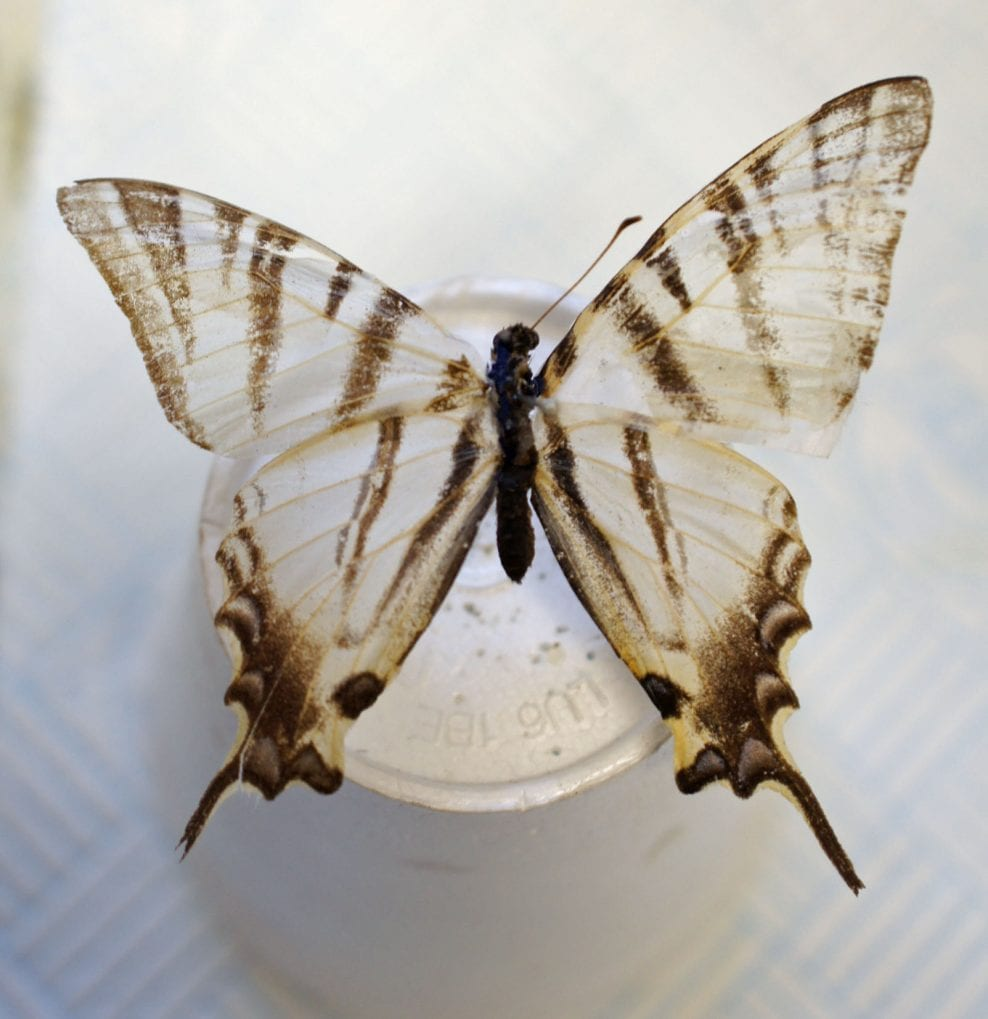 Tiger swallowtail in one piece