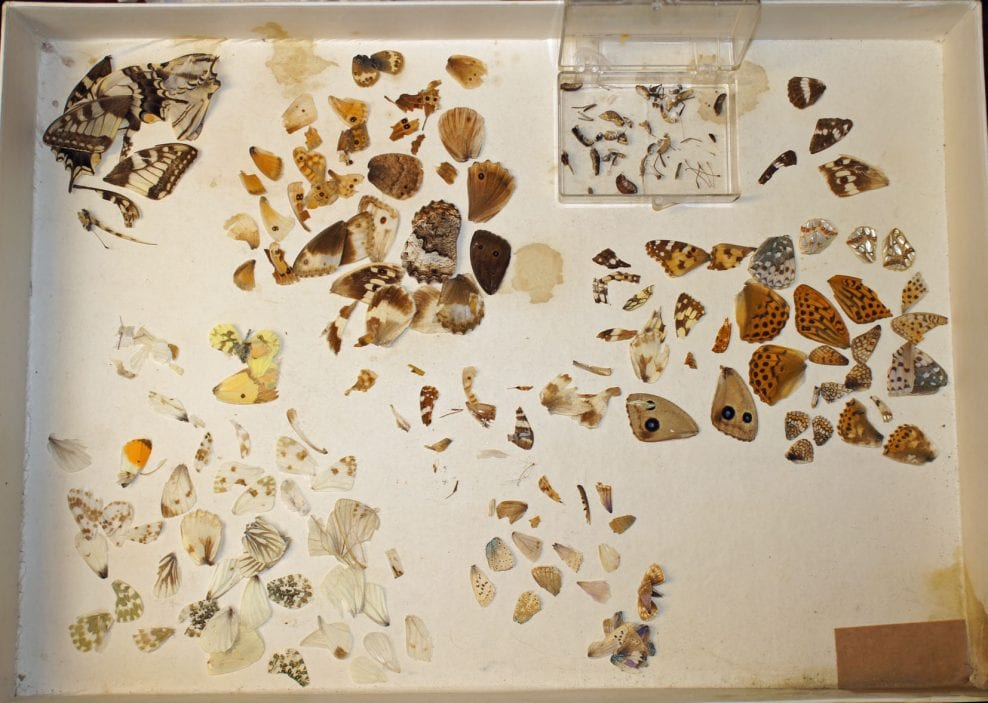 Wings, fragments and body parts rescued from the case and roughly classified